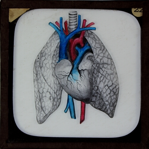 Heart and Lungs (exterior)