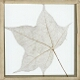 Skeleton Leaf, Tulip Tree